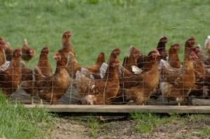 FAO warnt vor H7N9-Virus: Muss China mit einer Vogelgrippe-Epedemie rechnen?