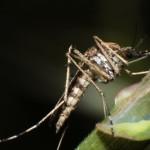Chikungunya-Fieber aus Tropen kommt Deutschland näher – Asiatische Tigermücke findet neue Heimat