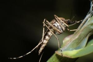 Chikungunya-Fieber kommt Deutschland näher - Asiatische Tigermücke findet neue Heimat