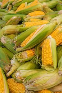 Genmais 1507 darf ab 2015 in Europa angebaut werden