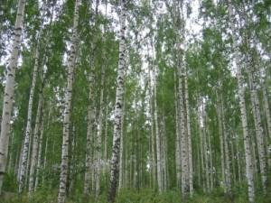 Allergie bei Birkenpollen: 2015 zeigen sich mildere Symptome bei Allergikern