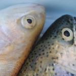 Krebserregende Stoffe in Fische aus Zuchtanlagen entdeckt